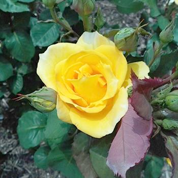 茨木市の薔薇